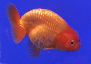 Goldfish_Ranchu