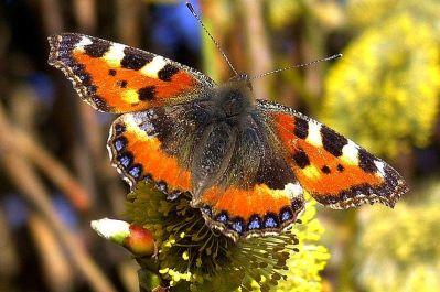 800px-Schmetterling_1a_neucc