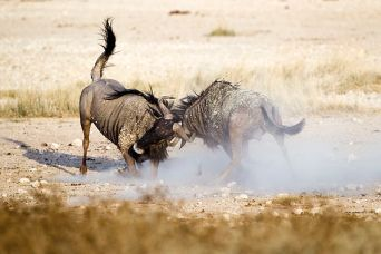 2012-wildebeest-fight