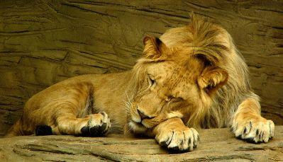 800px-Sleeping_lion