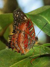 450px-Leopard_Lacewing_Cethosia_cyane_Richard_Bartz_