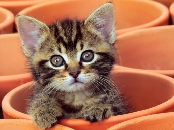 Curious-Kitten-Desktop-Wallpaper